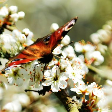 Peacock Butterfly on Hawthorn Blossom.