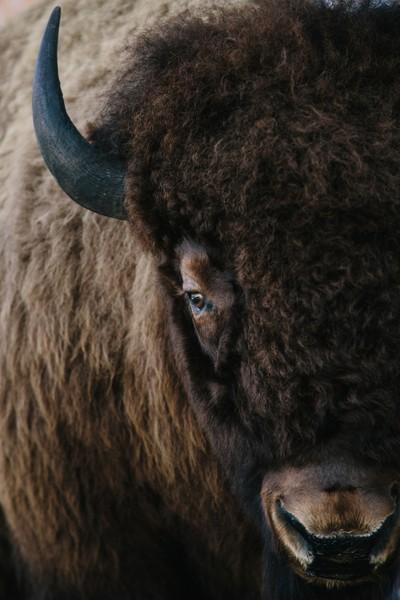 Bison in Jacksonhole, Wyoming