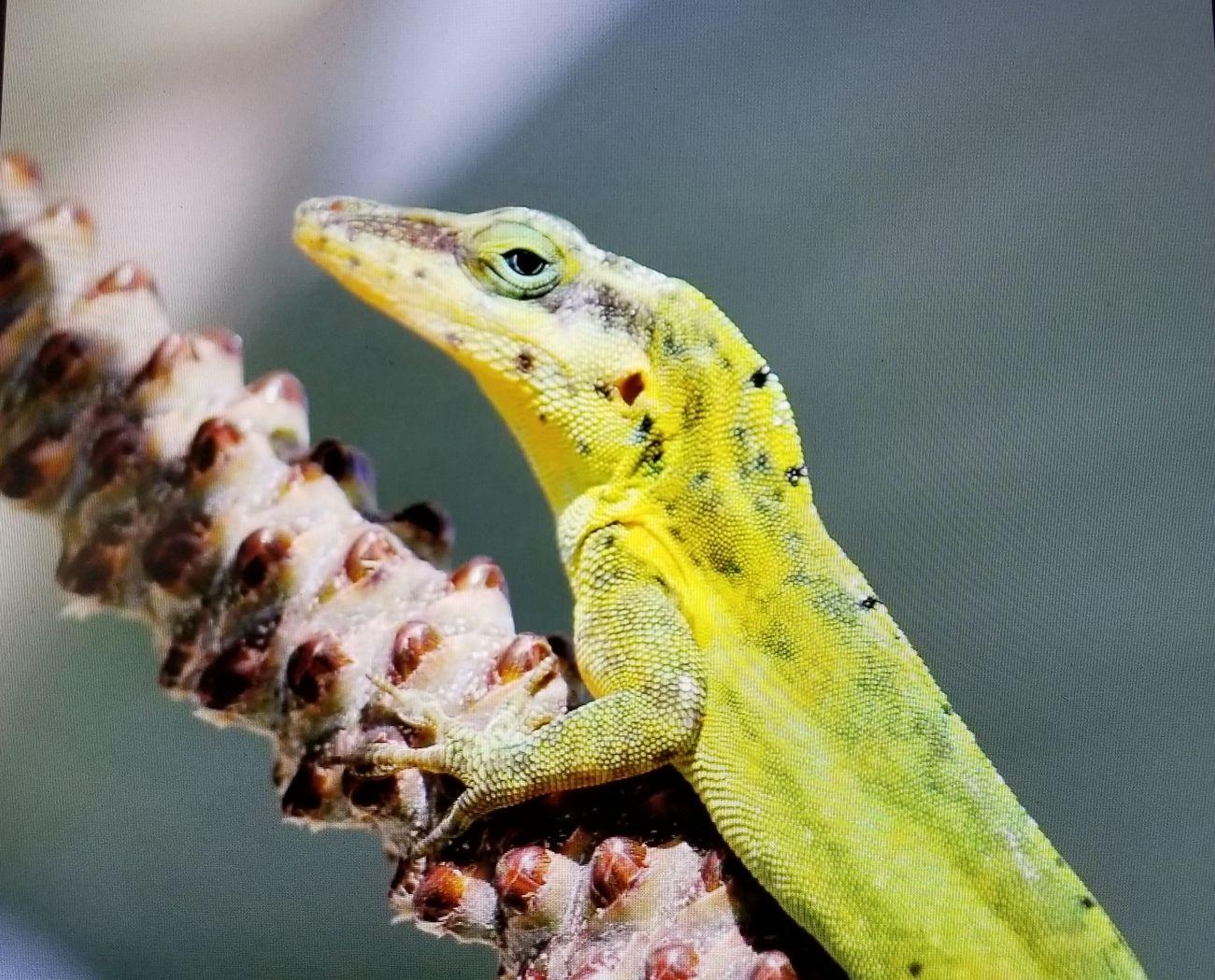 Nevis lizard
