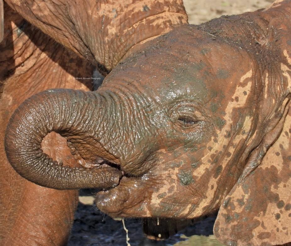 wild baby elephant enjoying a drink