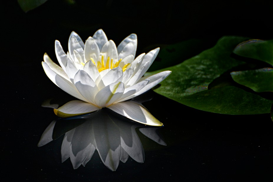 a white waterlily in the ponds of Longwood Gardens