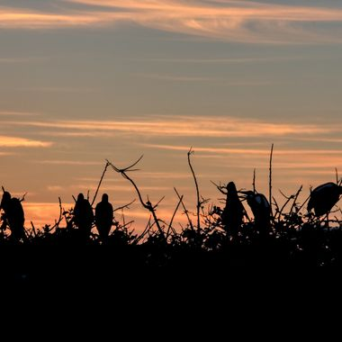 A golden sunrise silhouettes nesting birds in Florida.