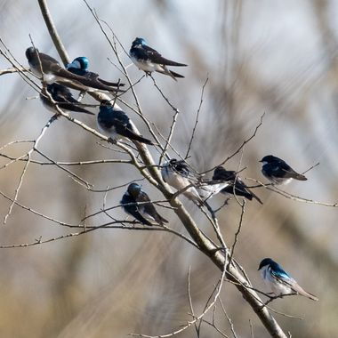 I came across this little tree full of Tree Swallows. This is not a usual sight for me. They are acrobatic flying insect hunters. They hunt most of their day on the wing.   DSC_3164