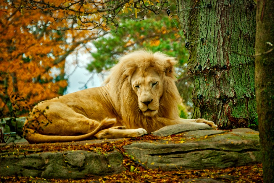 Lion located at Toledo Zoo.