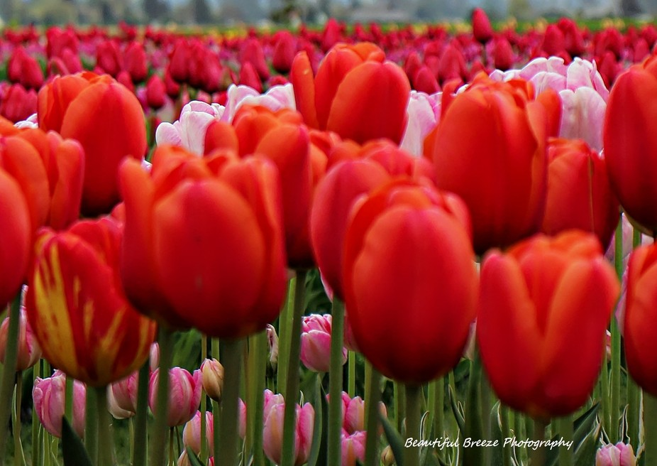 The wonderful tulip festival in Washington