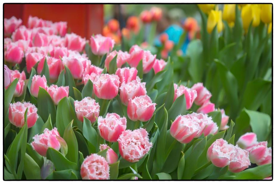 melbourne flower & Garden show 2019 Tulips_12