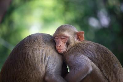 The Rhesus Macaque Monkeys Sleeping