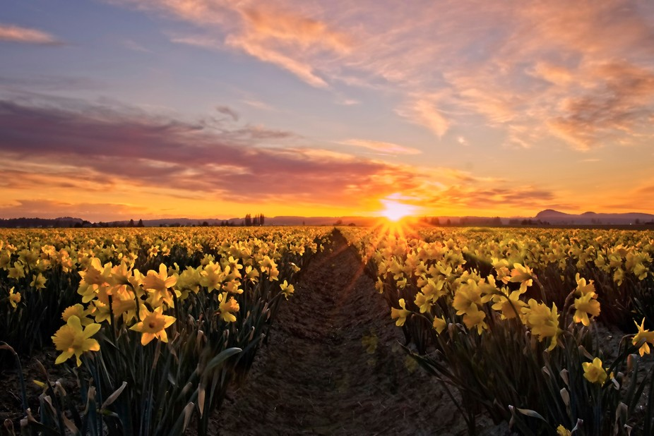 The sun is setting over a daffodil field in the Skagit Valley of Washington...