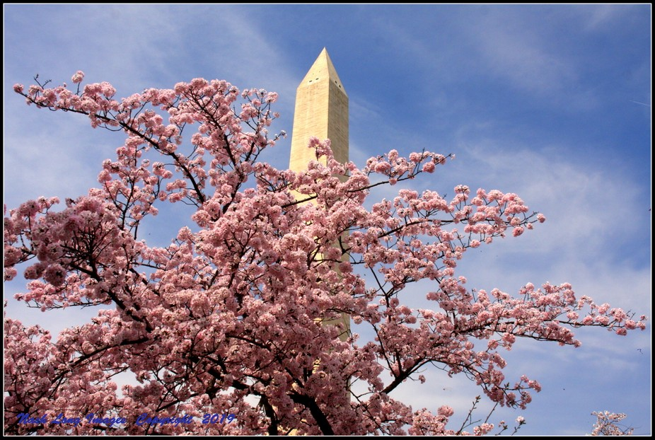 The Cherry Blossoms at The Washington Monument in Washington DC