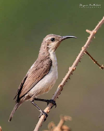 Purple Sunbird Female #birdsofindia #birds #bestbirdshots #eye_spy_birds #indianwildlifeofficial #wildlifephotography #wildlife #nikonindiaofficial #nikon #natgeoyourshot #natgeo #planetbirds #pocket_birds #eow #edgeofwild #nature_worldwide_birds #earthca
