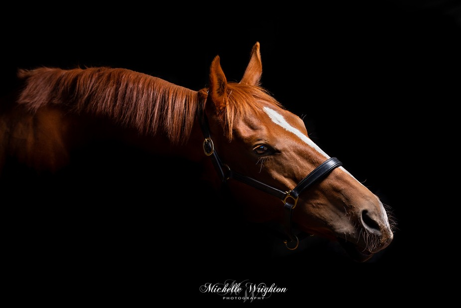 Studio horse photography