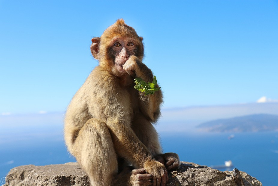 "On vacation we visited Gibraltor and learned of the ""Apes of Gibraltor.  Actually Macaqu..."