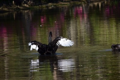Swan with wings out