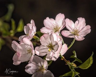 Cherry Blossoms #3
