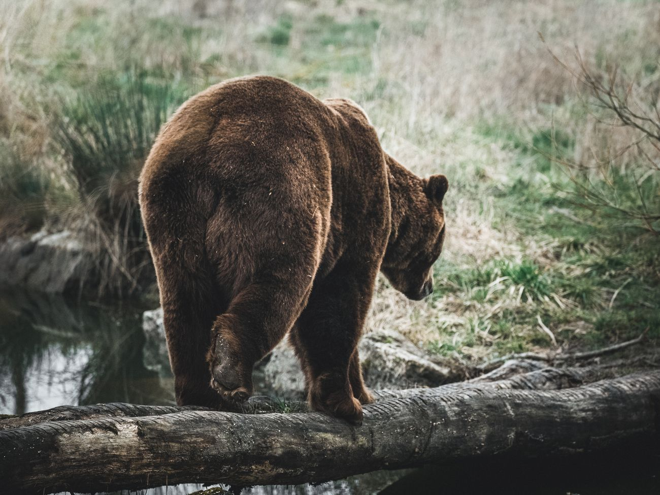The european brown bear in Sainte croix sanctuary in France.