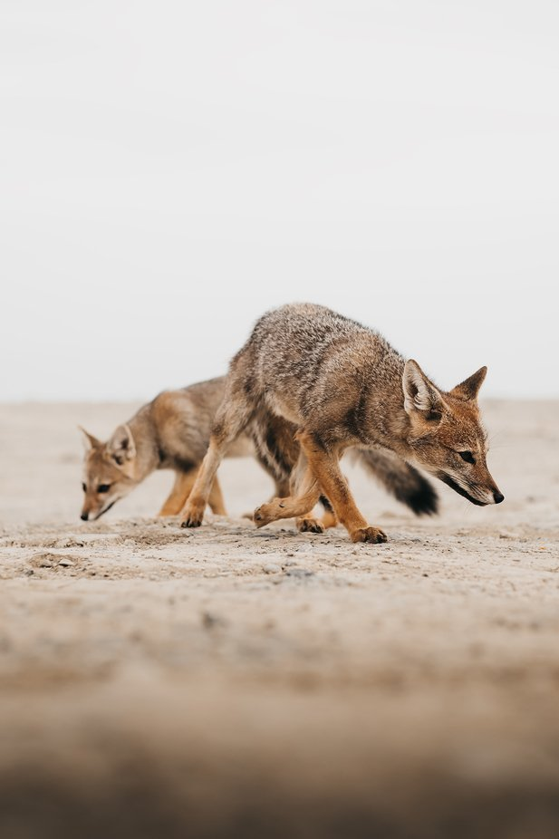 We came across a couple Argentinian foxes next to the road. Managed to take a couple of snaps before they left into the desert. by jorisput - Image Of The Month Photo Contest Vol 44
