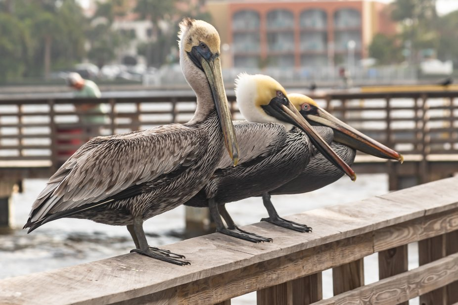 Three buddies hanging out on the fishing pier at Lake Worth, Florida, hoping that some fisherman ...