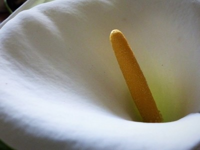 Arum Lily 19.03.19 880