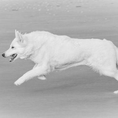 White shepherd on the run at the beach of Egmond aan Zee, Holland