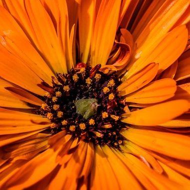Orange Benary