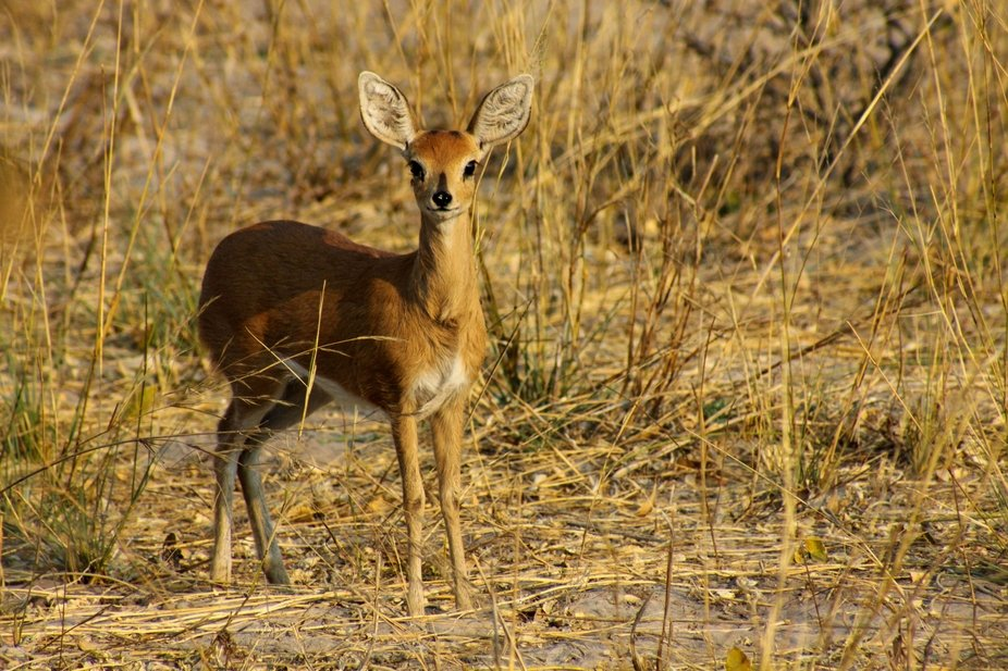 Baby springbok large format