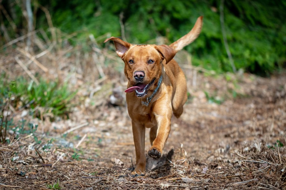 First full frame outdoor shots of our Fox Red Labrador during a pause on a family walk in the For...