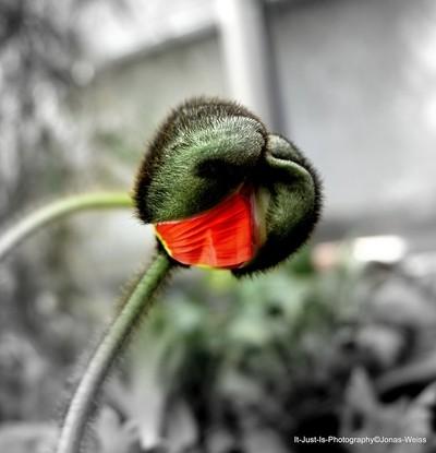 Birth of a Red Poppy Flower