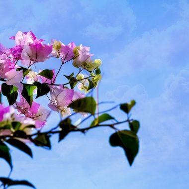 Pink Bourgainvillia
