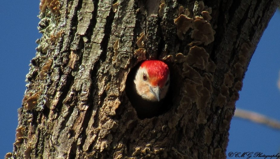 Just how many steady shots does it take to capture the Red Bellied WoodPecker in a 50 feet above ...