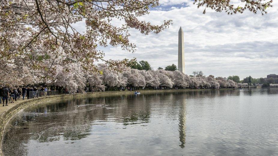 Washington Momument Tidal  Blossoms