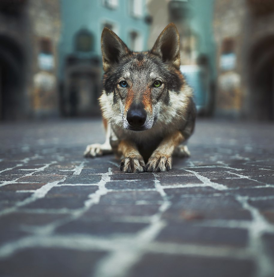 The strange wolf by Blionbg - We Love Our Animals Photo Contest
