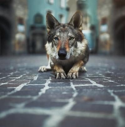 The strange wolf