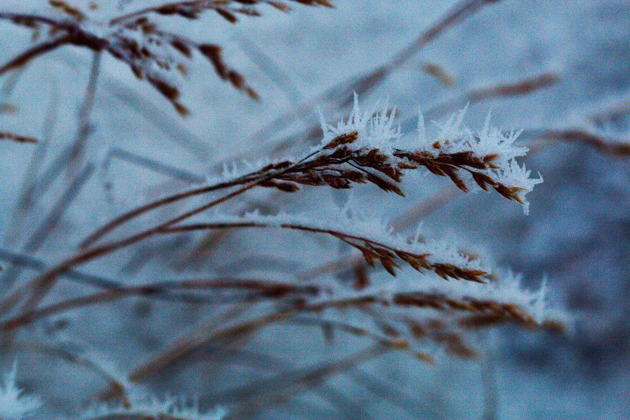 hoarfrostgrass.resized