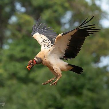 king vulture-0403