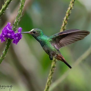Rufous-tailed Hummingbird-09066