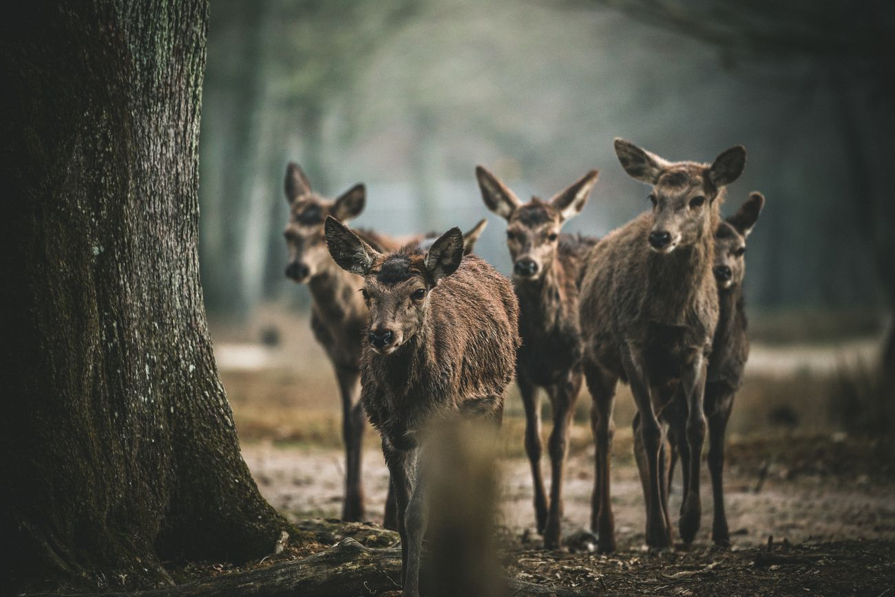 A band of female deer having a morning meeting.
