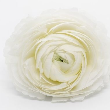 White ranunculus on a white background that emphasizes the softness of the flower. The flower is a symbol of charm and is a real spring flower. In the Victorian era, you indicated by giving ranuncles that the recipient had many beautiful qualities.