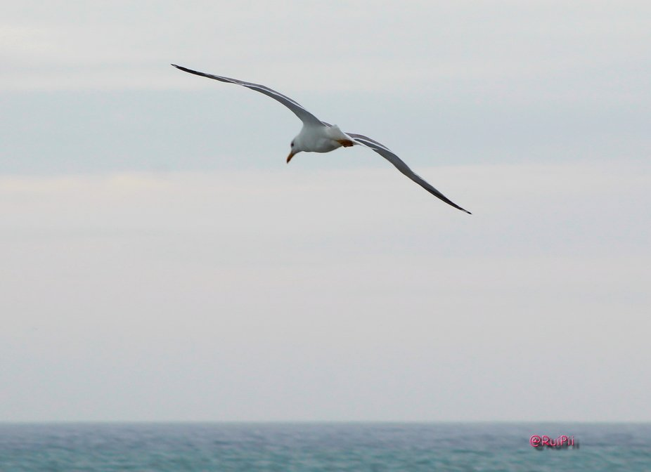 Seagul just cruising