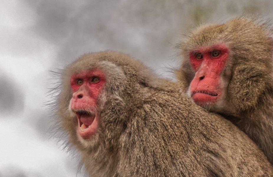 _snow apes