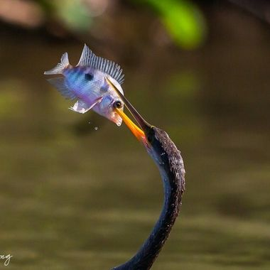 I learned that Anhingas catch fish by spearing them.  Cormorants, on the other hand, have hooks at the end of their bills so they just grab the fish...