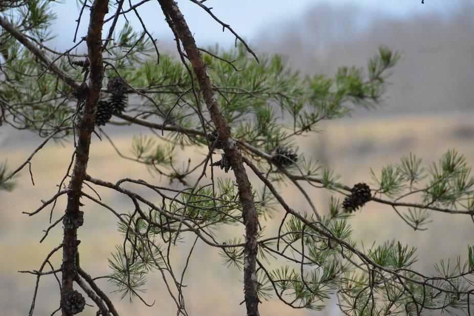 Pine Cones at Smith Mountain Lake