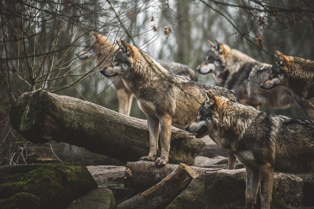 A pack of wolves ready watching some very interesting subject !