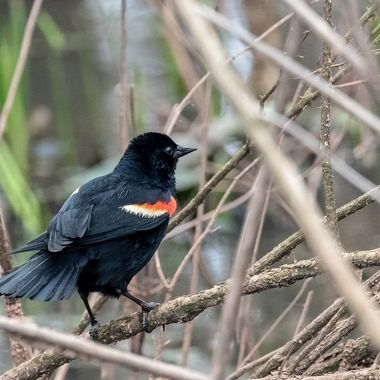 Red-winged Blackbird drying off after bathing DSC_3354