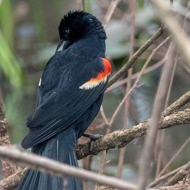 Red-winged Blackbird, after bath