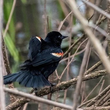 Red-winged Blackbird. DSC_3353