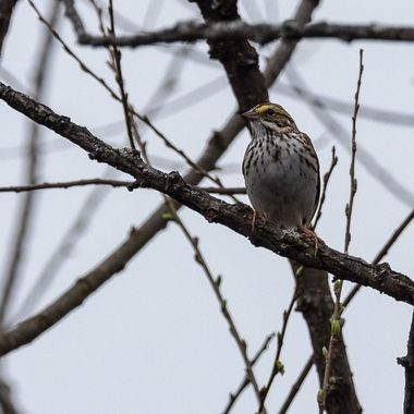 I found this Savanna Sparrow sitting in a small tree in standing water at the edge of a large pond.   DSC_3358