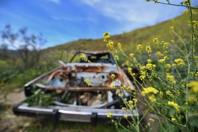 Flowers take over an abandoned car