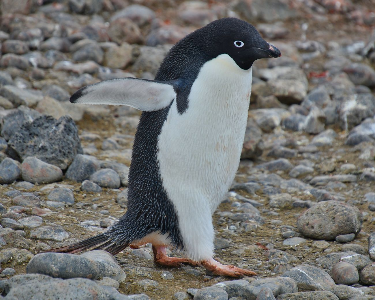 Adelie penguin photographed at Brown Bluff in the Antarctic peninsula.