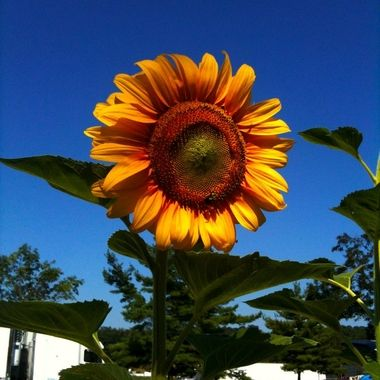 In traveling around the US at a rest stop I found this giant sun flower.