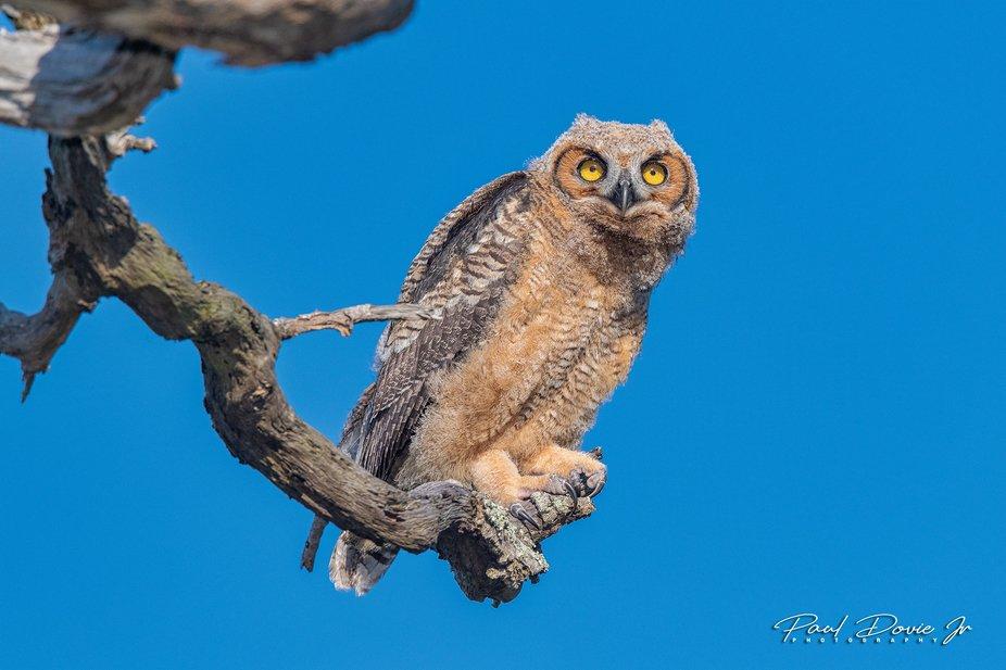 Juvenile Horned Owl_4560